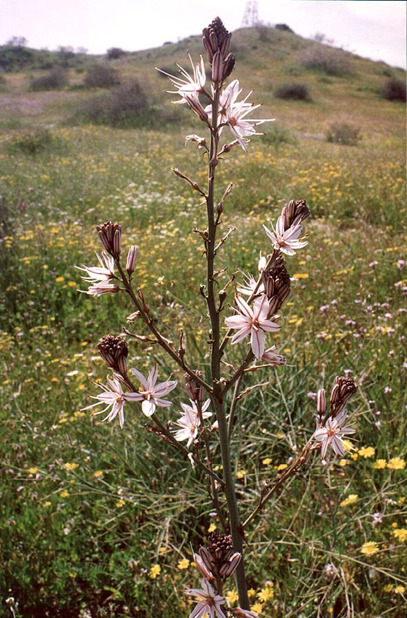 Asphodel flower in northern Negev Desert in...west from Ofakim. The Middle East