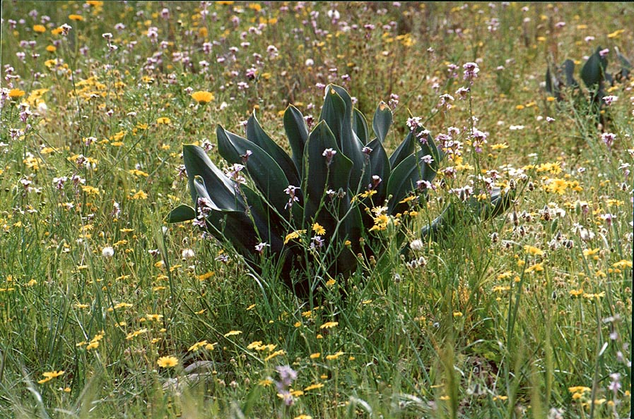 Smooth dark green leaves of Mediterranean squill...west from Ofakim. The Middle East