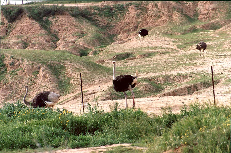 An ostrich farm opposite to the turn of the road...west from Ofakim. The Middle East