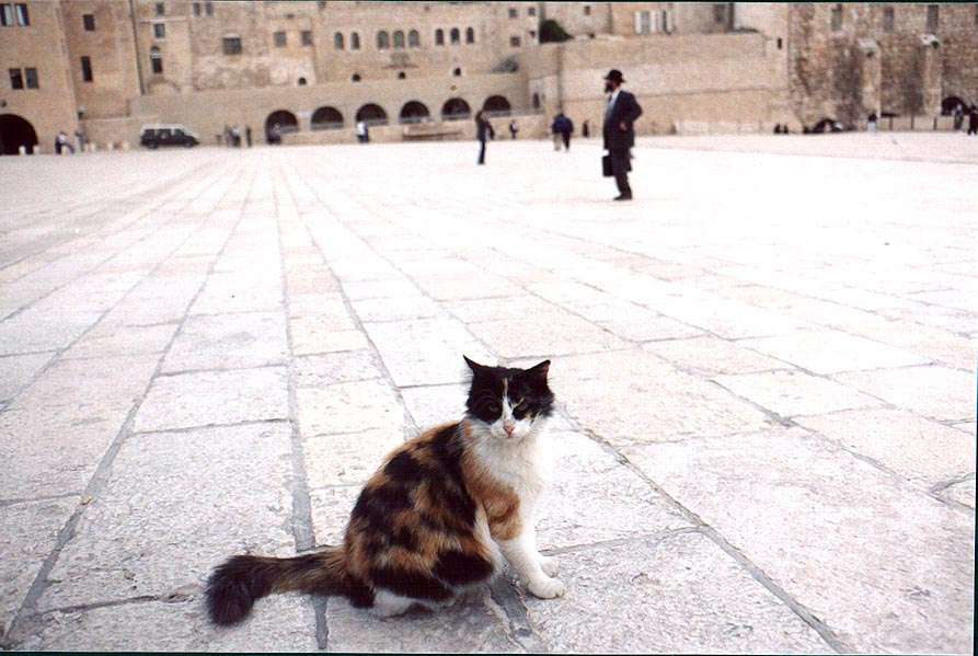 Old City, one of numerous cats near Western Wall. Jerusalem, the Middle East