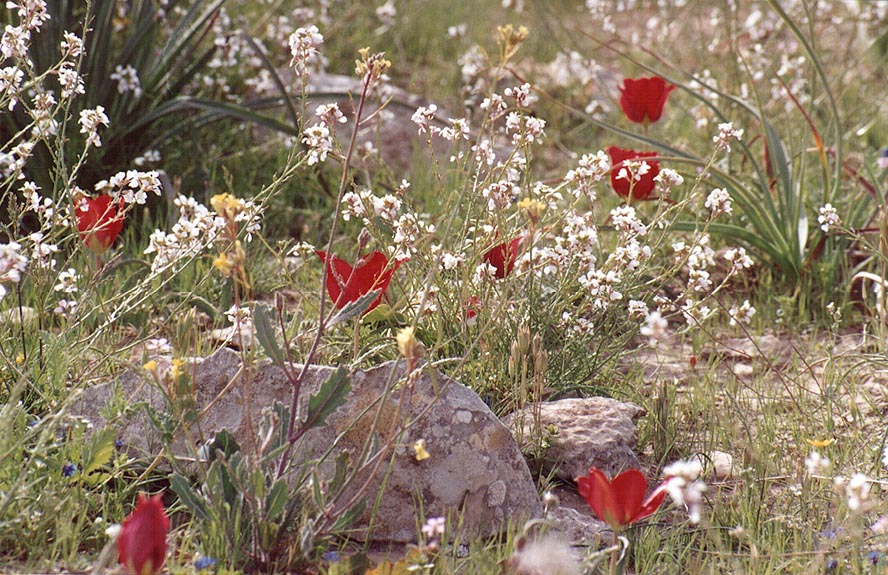 Spring flowers in Negev Desert, on a mountain...Yeroham reservoir. The Middle East