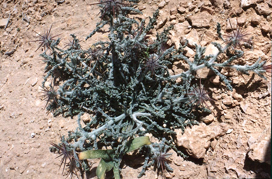 A thorny plant in Negev Desert, on a mountain...Yeroham reservoir. The Middle East