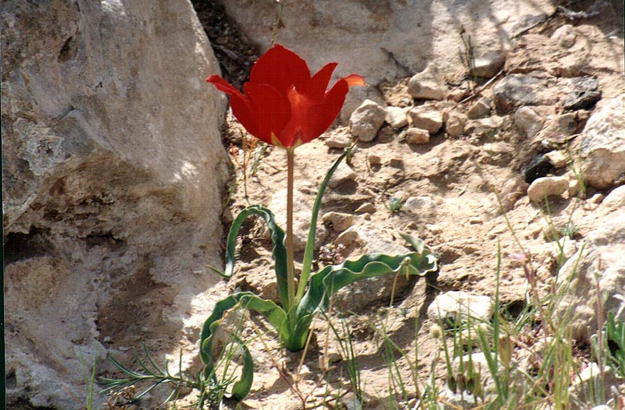 A tulip in Negev Desert, on a mountain ridge behind Yeroham reservoir. The Middle East