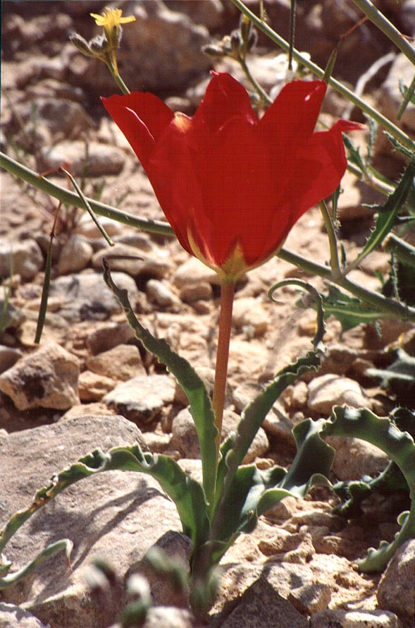A tulip on a trail descending from a mountain ridge to Yeroham reservoir. The Middle East
