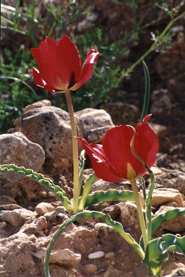 Tulips on a trail descending from a mountain ridge to Yeroham reservoir. The Middle East