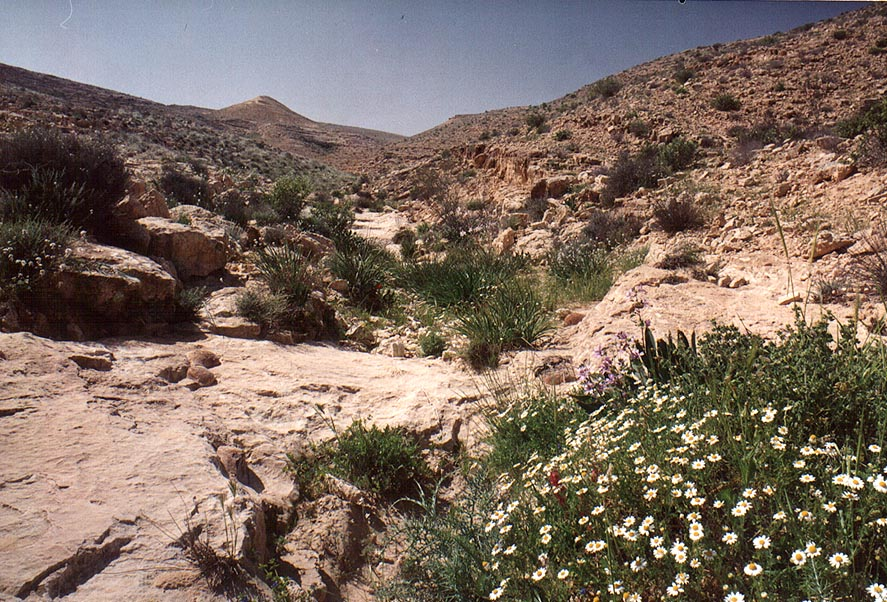 Spring flowers in a riverbed of a tributary of...Yeroham reservoir. The Middle East
