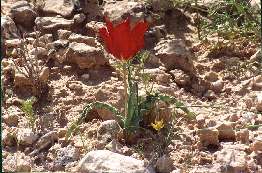 A tulip and wild onions on a trail descending...to Yeroham reservoir. The Middle East
