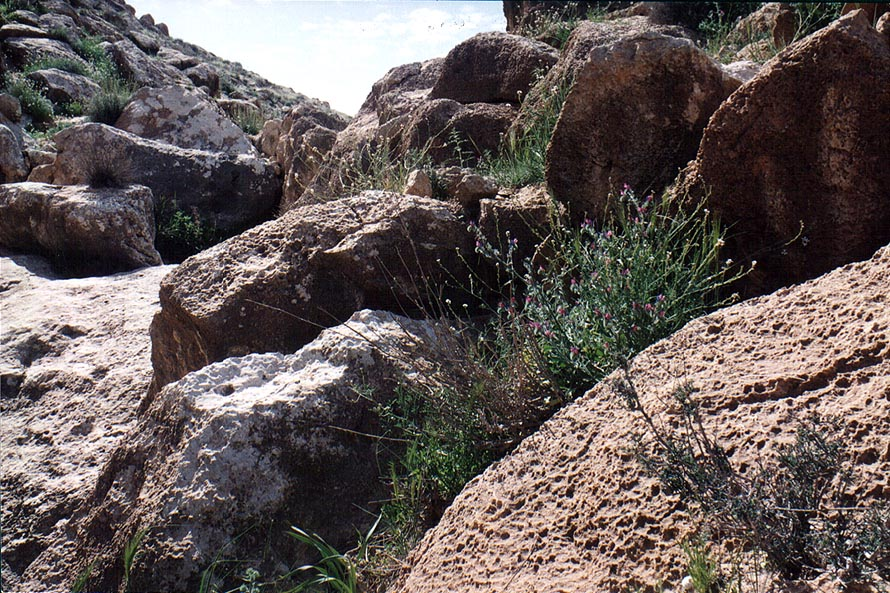 Spring flowers among rocks in a riverbed near a...to Yeroham reservoir. The Middle East