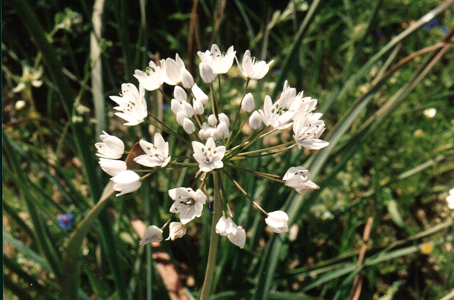 Garlic-like flowers in a riverbed of a tributary...to Yeroham reservoir. The Middle East