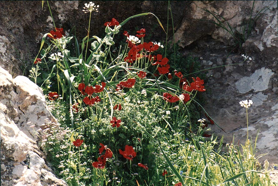Red anemones in a riverbed of a tributary of...to Yeroham reservoir. The Middle East