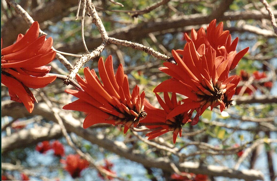 Coral tree near Wingate St.. Beer-Sheva, the Middle East