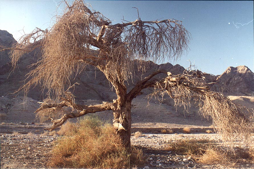 Acacia killed by a parasite plant mistletoe in...north-west from Eilat. The Middle East