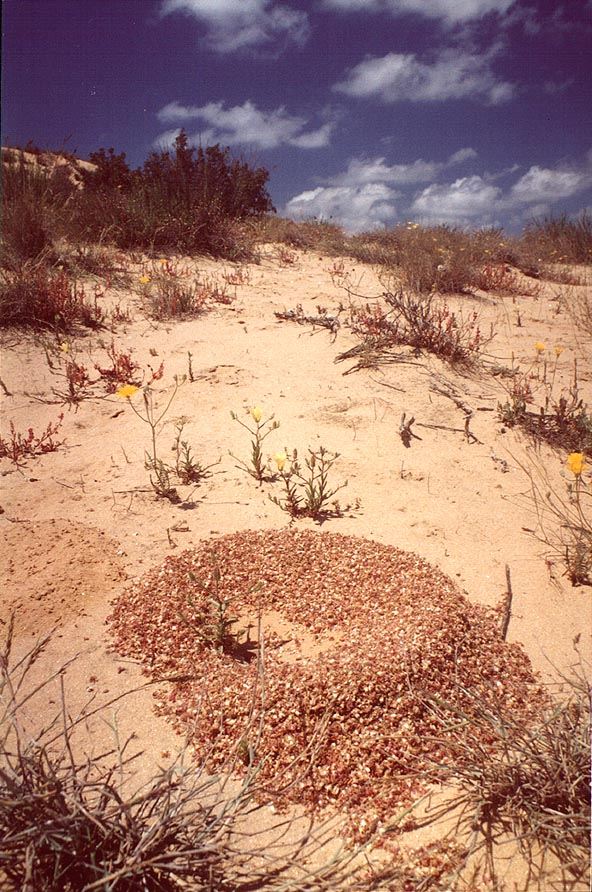 Ant mound in dunes north from Ashkelon. The Middle East