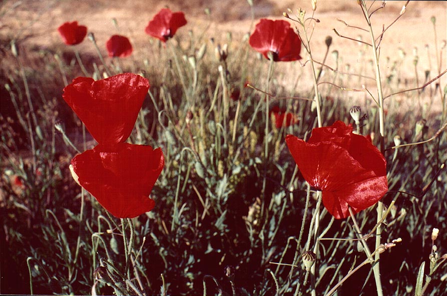 Poppies in dunes in northern Ashkelon. The Middle East
