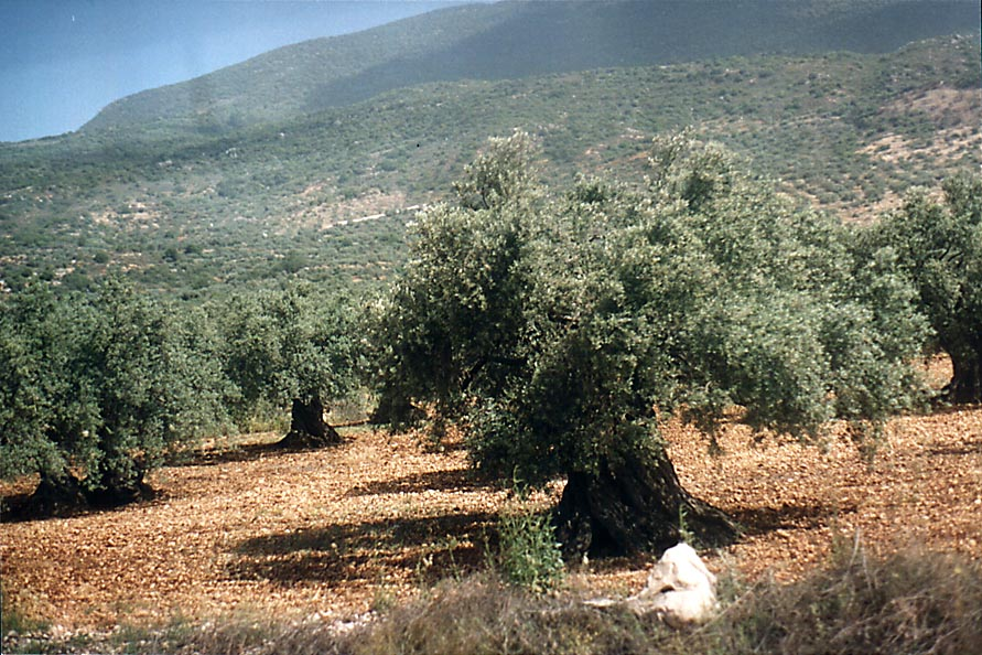 Old olive trees near Karmiel in Upper Galilee, view from Rd. 85. The Middle East
