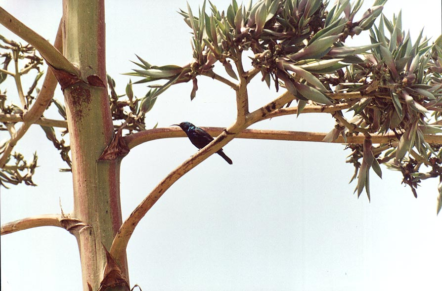 A hummingbird sitting on an agave flower behind...to Nizzanim beach. The Middle East