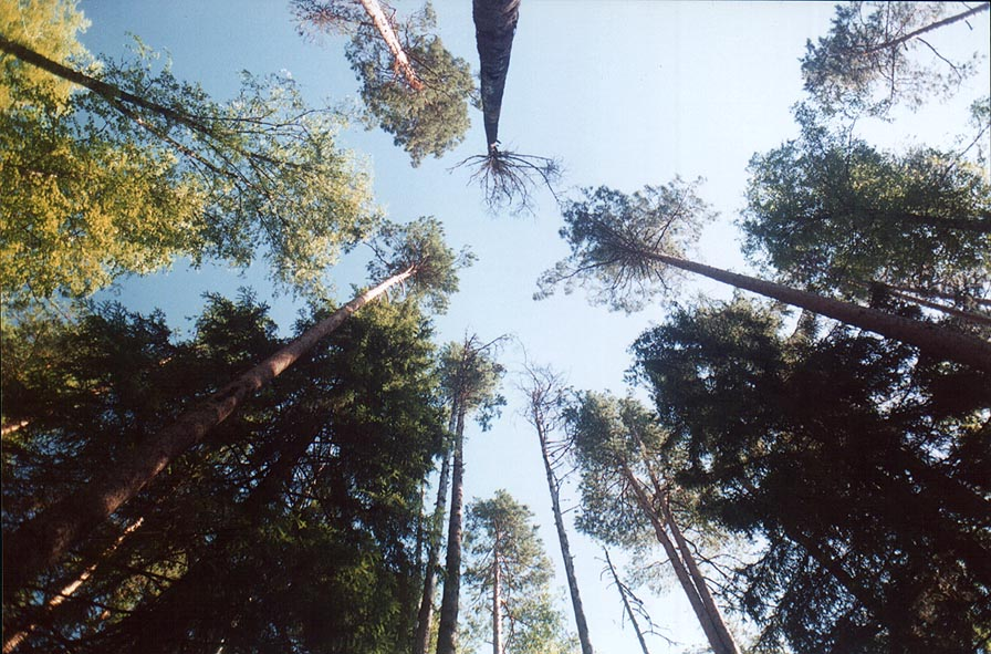 Pines in a forest in Posiolok, 50 miles south from St.Petersburg. Russia