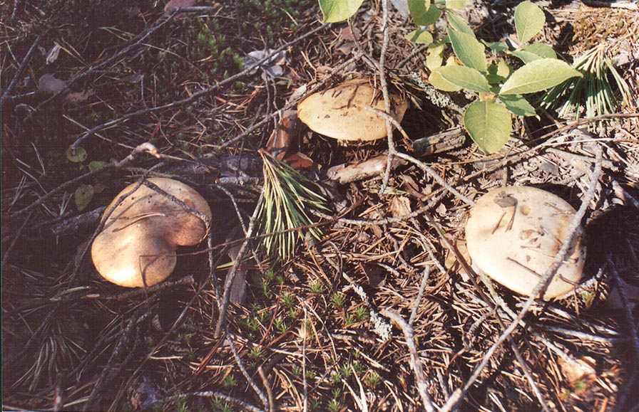 Wide spread edible mushrooms (maslionok in...north-west from St.Petersburg. Russia