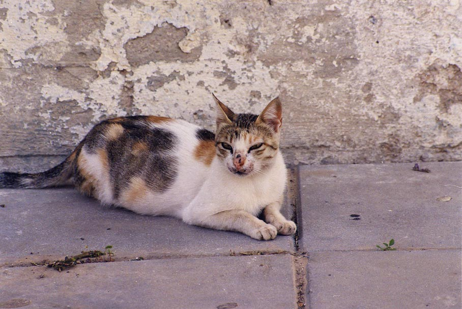 A cat at Rutenberg St., Shekhuna Gimel neighborhood. Beer-Sheva, the Middle East