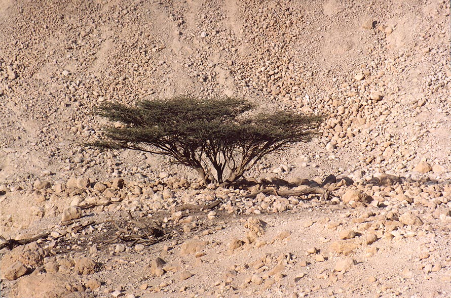 Acacia behind entrance to Ein Gedi park. The Middle East
