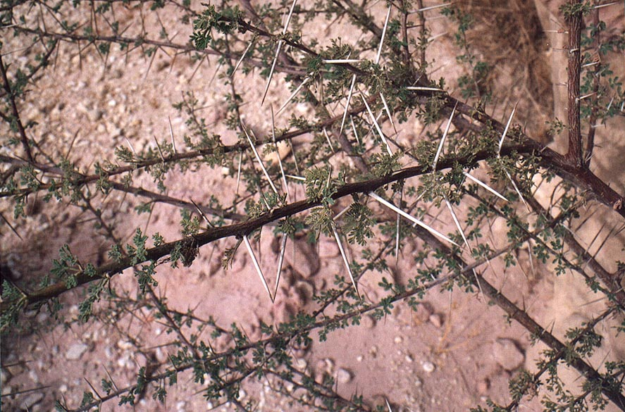 Acacia bush along Tsafit Creek 10 miles west from Dimona. The Middle East