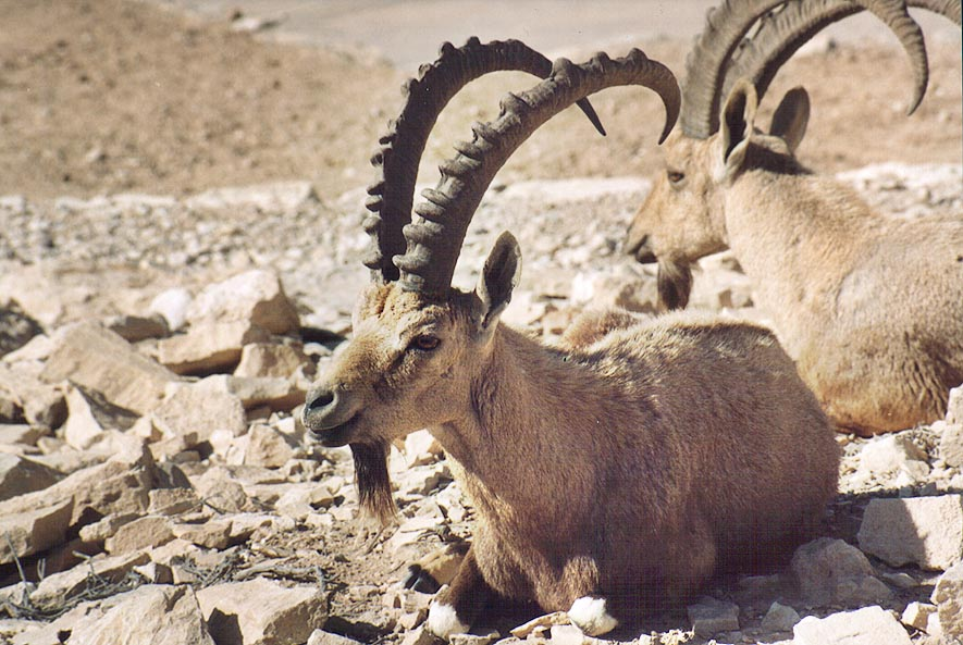 More ibexes in southern Mitzpe Ramon. The Middle East