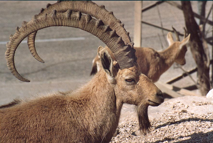 Yet another ibex in southern Mitzpe Ramon. The Middle East