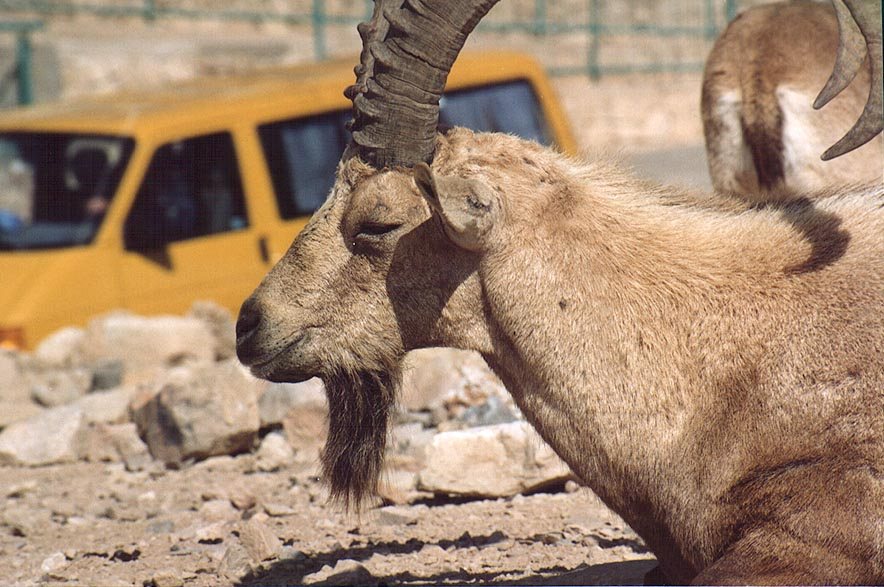 An ibex and a car in southern Mitzpe Ramon. The Middle East