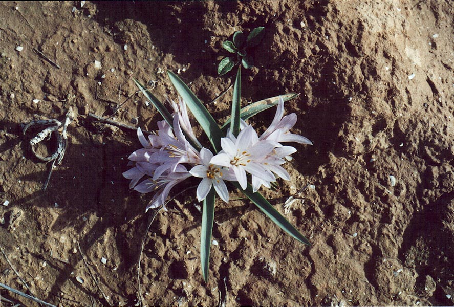 Colchicum flowers in northern Beer-Sheva. The Middle East