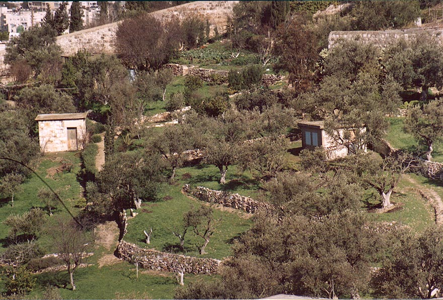 Olive terrace gardens on slopes of Mount of Olives. Jerusalem, the Middle East