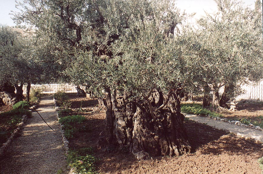 Olive trees of Gethsemane. Jerusalem, the Middle East