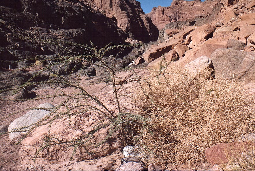 A small acacia in Nahal Gishron creek, view from...miles west from Eilat. The Middle East