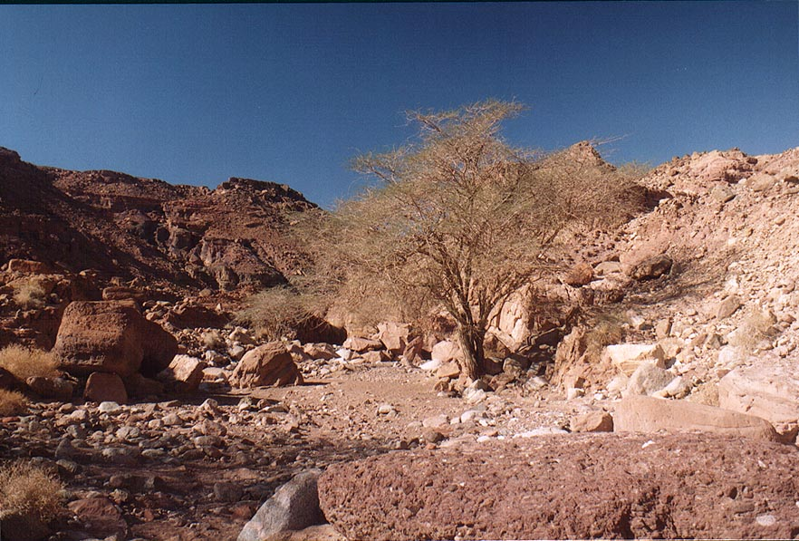 An acacia in Nahal Gishron creek, view from a...miles west from Eilat. The Middle East