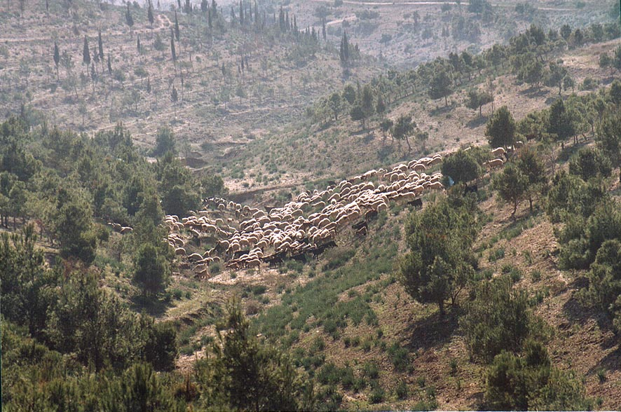 Grazing sheep in pine forest in northern Beer-Sheva. The Middle East