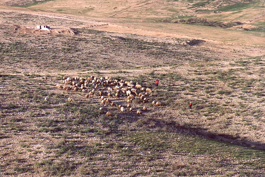 Grazing sheep in Negev Desert in northern Beer-Sheva. The Middle East