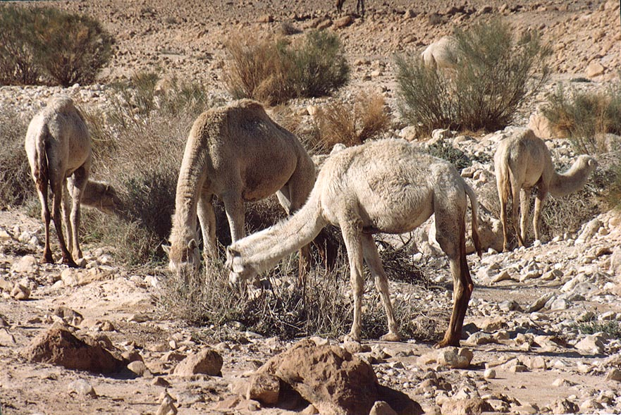 Grazing camels in wadi of Judean Desert 1.5 miles south from Masada. The Middle East