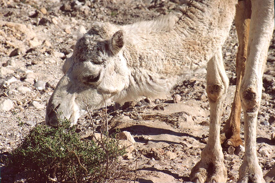 A grazing camel in Judean Desert 1.5 miles south from Masada. The Middle East