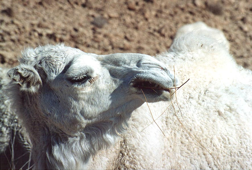 A chewing white camel in Judean Desert 1.5 miles south from Masada. The Middle East