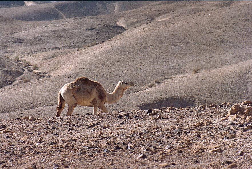 A walking camel in Judean Desert 1.5 miles south from Masada. The Middle East