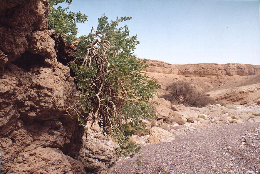 A bush common for Eilat mountains in Nahal Shani...north from Eilat. The Middle East