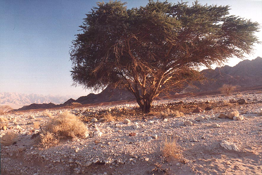 Acacia at evening in Timna stream in northern...north from Eilat. The Middle East