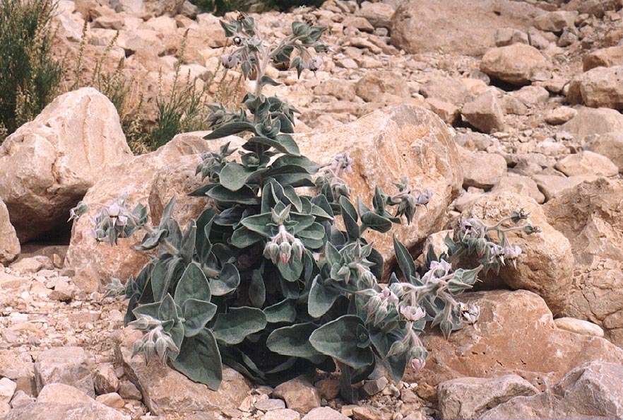 A blooming spring plant in lower Nahal Mishmar canyon, near Dead Sea. The Middle East