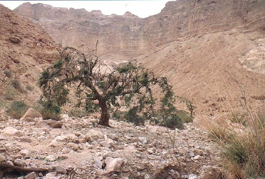 A plum tree near Ein Mishmar spring at the end of...canyon, near Dead Sea. The Middle East