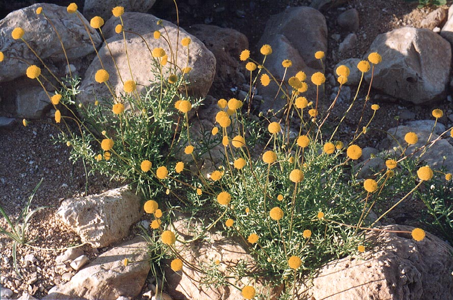 Spring flowers along a trail near Tseelim river...north from Masada. The Middle East