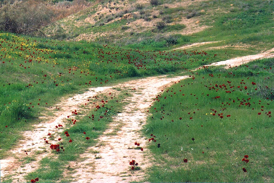 Red anemones on badlands of in Park Eshkol, 7 miles west from Ofakim. The Middle East
