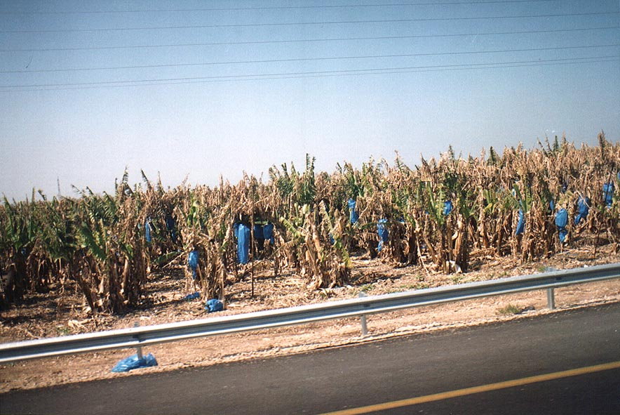 Banana plantations along Rd. 4 near Zikhron Ya'akov. The Middle East