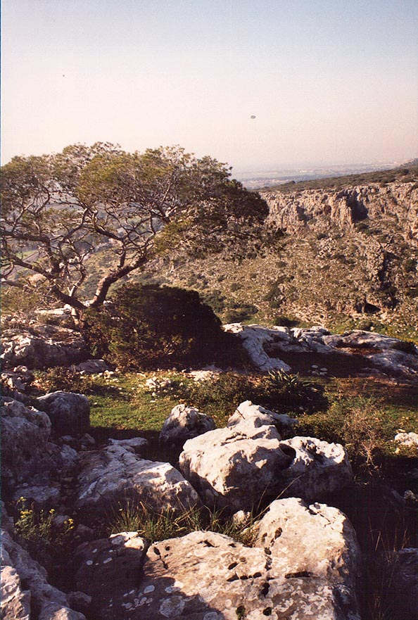A pine tree on Etzba Ridge on Mount Carmel. The Middle East