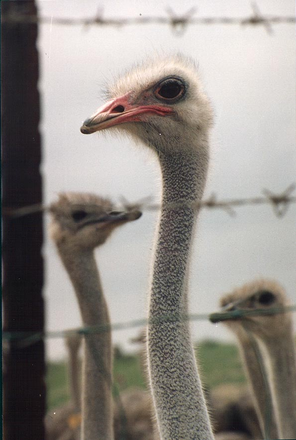 An ostrich west from Beeri Reserve, 3 miles north from Gaza city. The Middle East