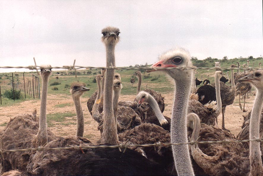 Ostriches west from Beeri Reserve, 3 miles north from Gaza city. The Middle East