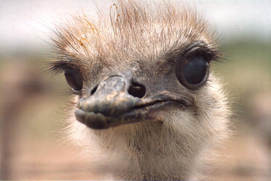 Close up of an ostrich west from Beeri Reserve, 3...north from Gaza city. The Middle East